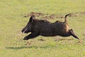 Photo of Things to Consider before Hog Hunting in Utah