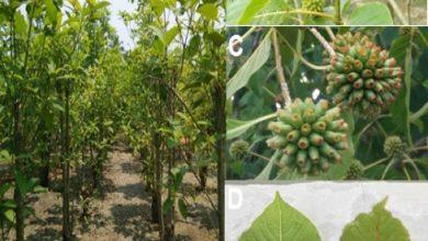 Photo of Kratom Plant with the detailed discussion on Borneo Kratom, Thai Kratom